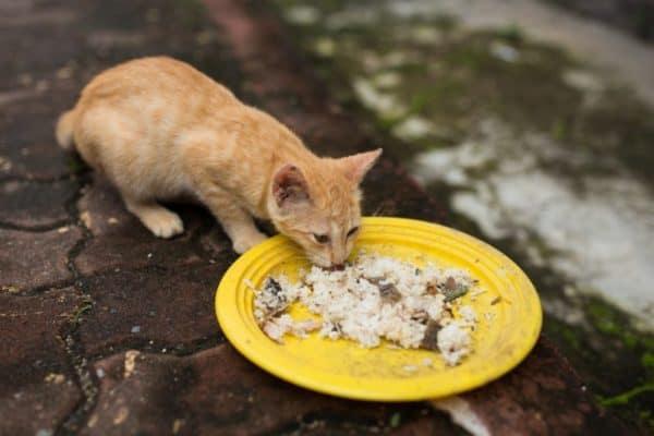 Alasan Kucing Jangan Diberi Nasi