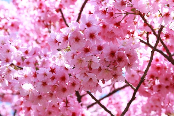 Nikmati Bunga Sakura Musim Semi 2021 di Indonesia